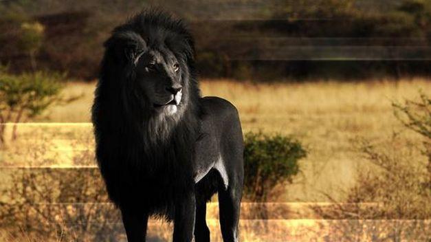 León Etiope o Abisinio