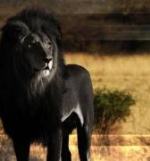 El Rey León en peligro de extinción