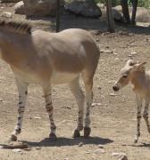 Somalia Nacen dos asnos salvajes en Buin Zoo: quedan solo 200 de su especie en el mundo