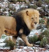 Safari Nevado: un inesperado golpe de frío azotó a Sudáfrica