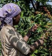 La historia del café comienza en los bosques de Etiopía